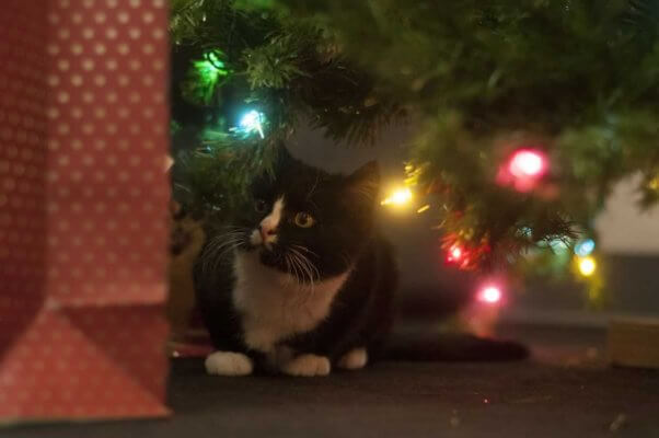 Cute black and white kitten under Christmas tree with multicolored lights