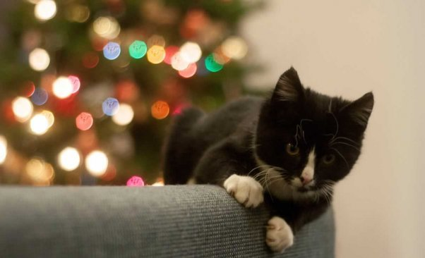 Black and white kitten on back of couch with brighlty lit Christmas tree in background
