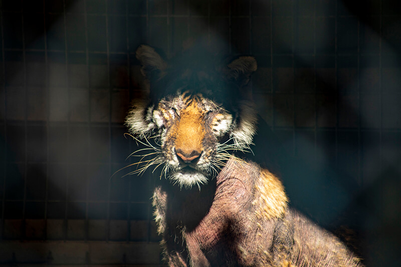 tiger with severe hair loss at Waccatee Zoo