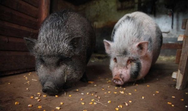 Two Vietnamese pot-bellied pigs eating corn