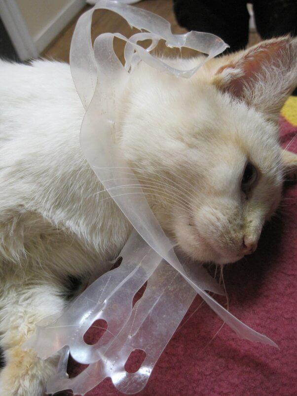 Outdoor Cat Stuck in Plastic