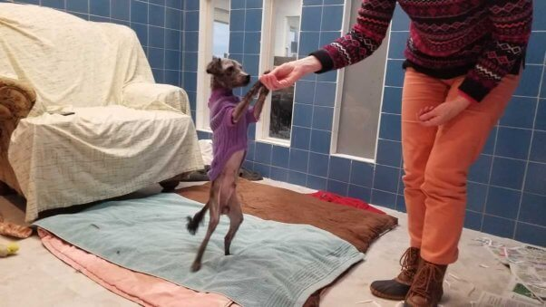 cute small dog in purple sweater standing on hind legs