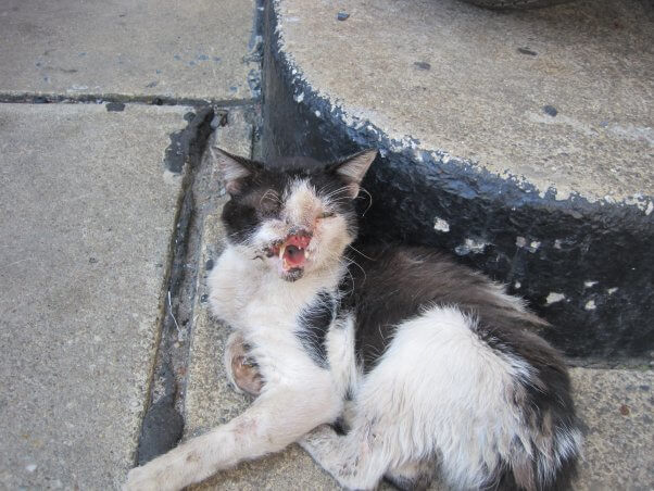 Black and White Face Outdoor Injured Cat