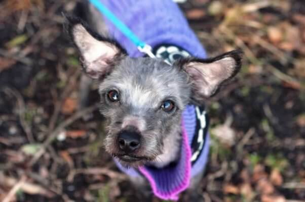 Adorable small dog in purple sweater looking up into camera