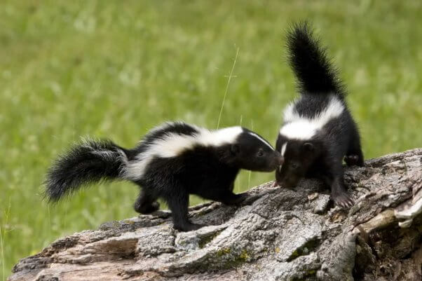 Two young skunks playing on log