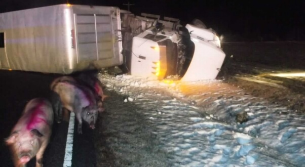 Pigs on road next to overturned Smithfield truck