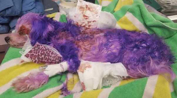 dog hair dye dangers problems with pooch perfect violet nearly dies