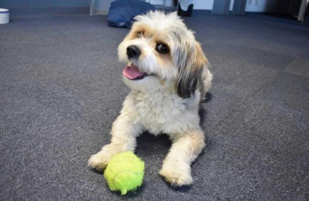 Adorable chien de sauvetage Rufus jouant avec une balle jaune