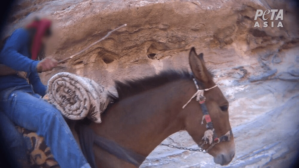 Going to Petra? 5 Terrible Reasons Why Animals Suffer in the 'Lost City' | PETA