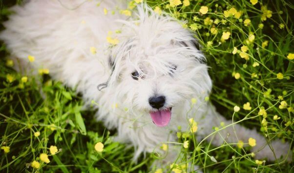 Cute white mixed-breed dog lying in yellow flowers