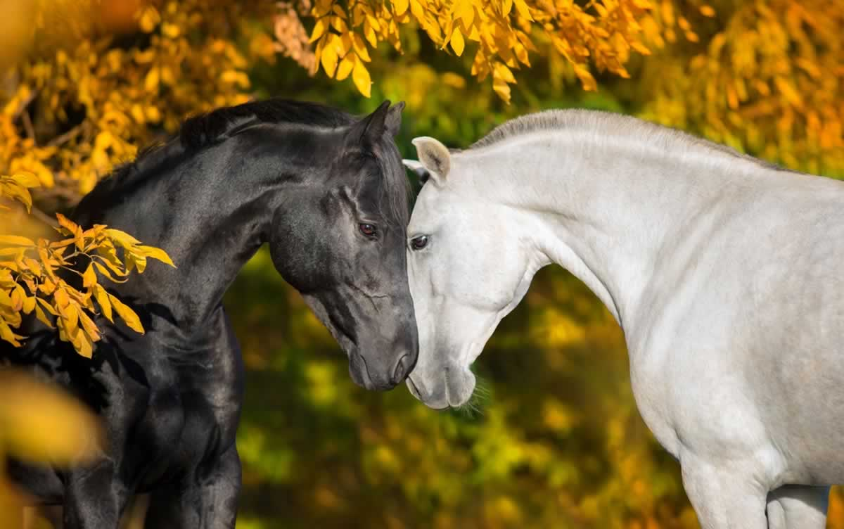 Two horses with faces pressed together, surrounded by yellow leaves