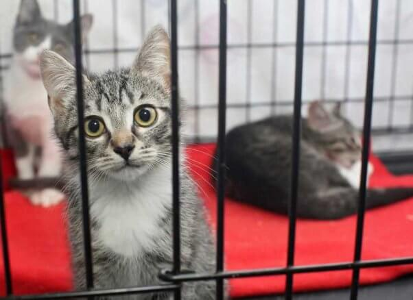 Three gray-and-white cats in cage at shelter