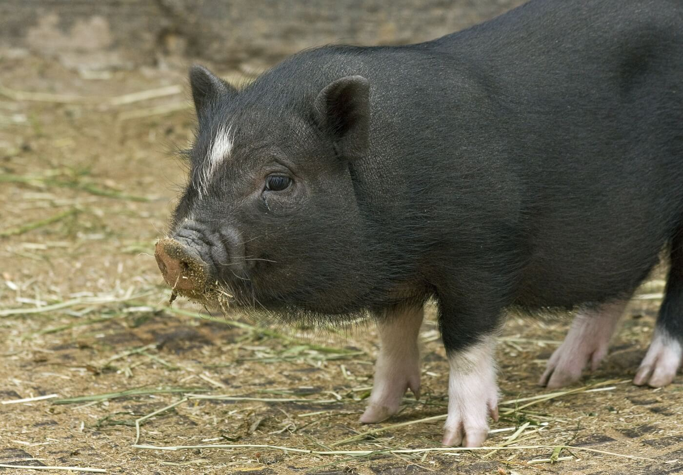 Why No One Should Buy a So-Called 'Teacup' Pig | PETA