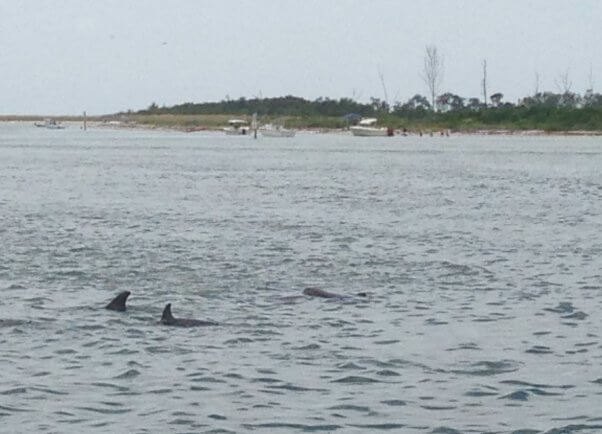 wild dolphins near the beach in Florida