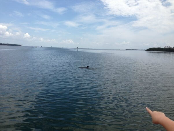 wild dolphins off the coast in Florida