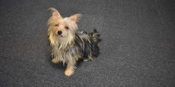 Fiona, a Maltese/Yorkshire mix available for adoption
