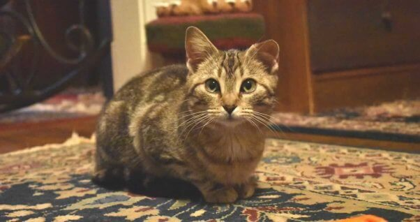 Tabby cat with torn ear lying on rug