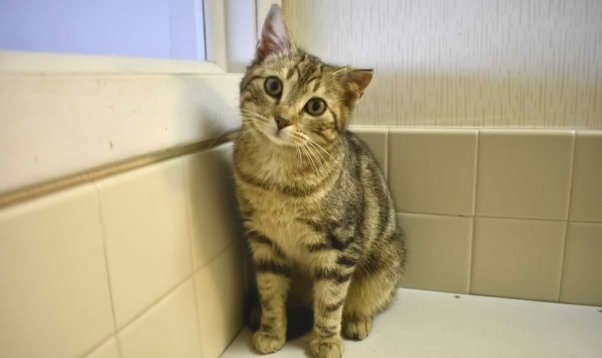 Cute tabby kitten with torn ear sitting next to window