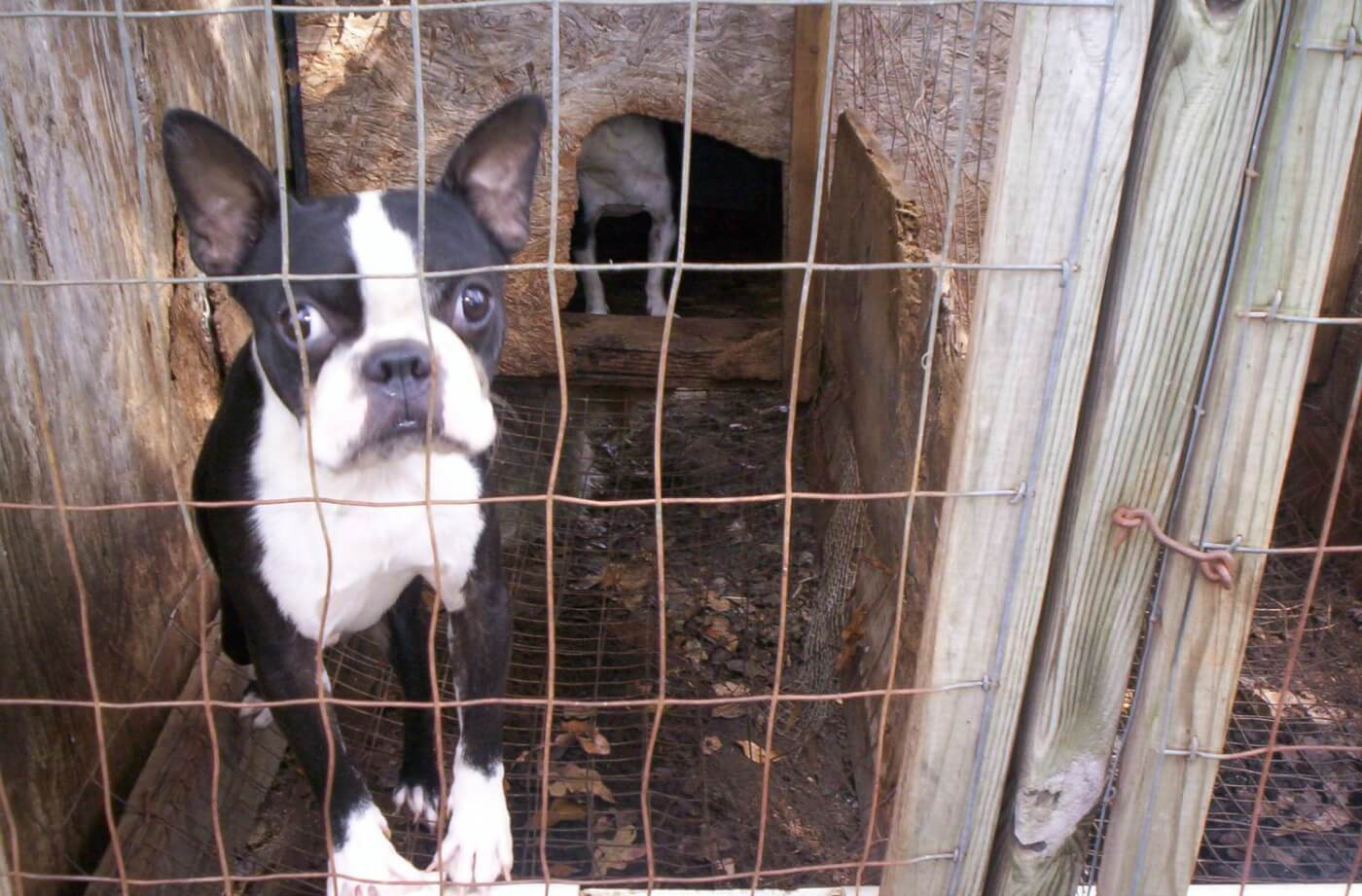Boston terrier in small dirty enclosure