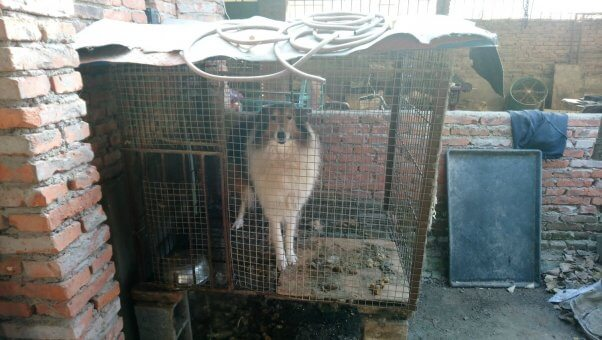 Collie in small cage at puppy mill
