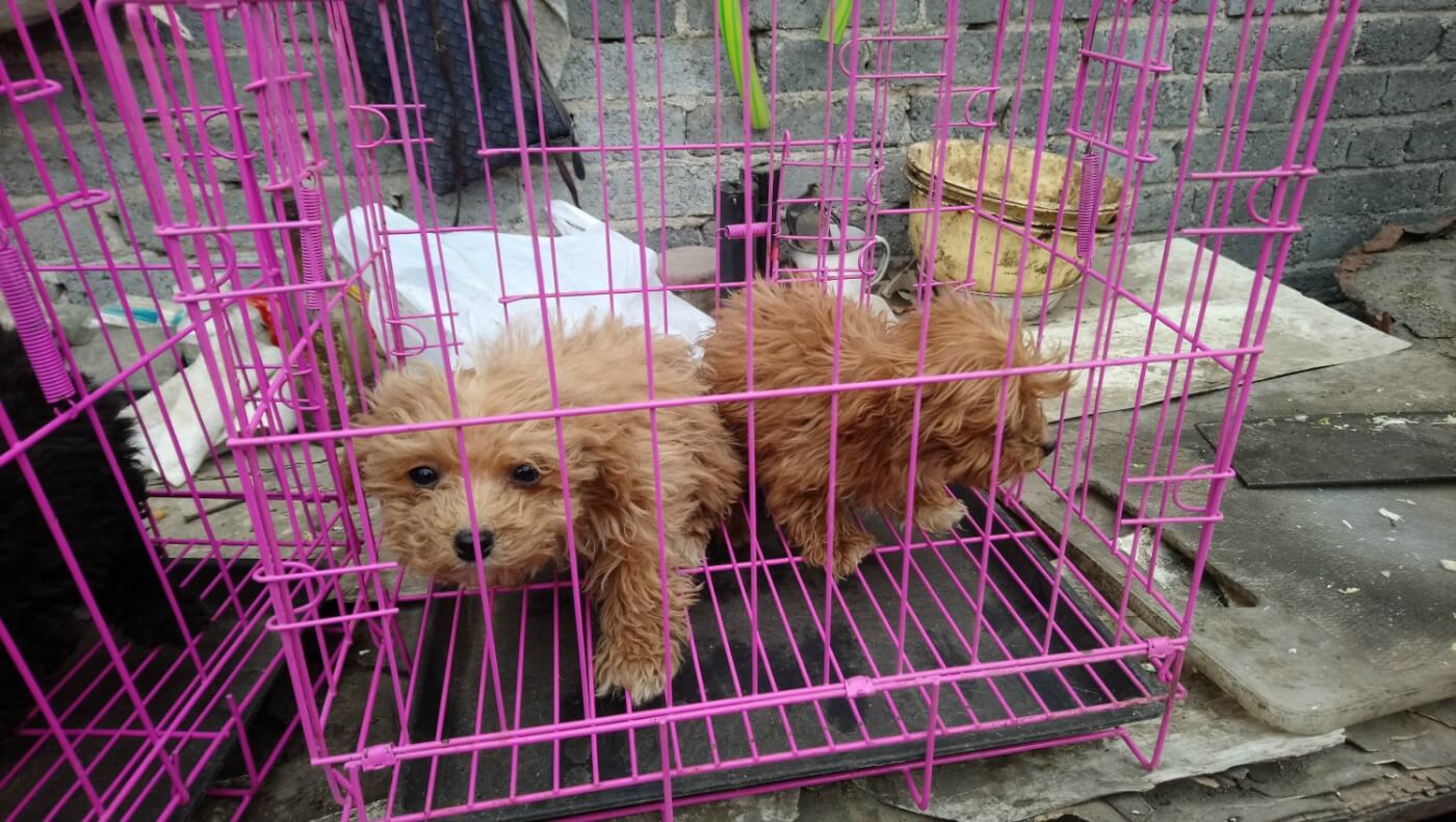 Two small dogs in wire crate at puppy mill
