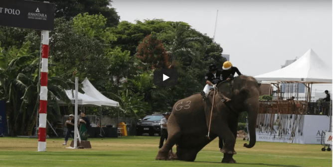 BREAKING: These Animals Were Beaten in Thailand for an Elephant-Polo Charity Event