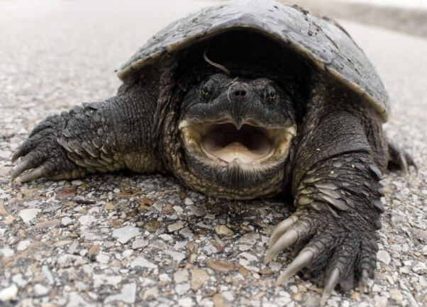 idaho teacher reportedly feeds puppy to snapping turtle