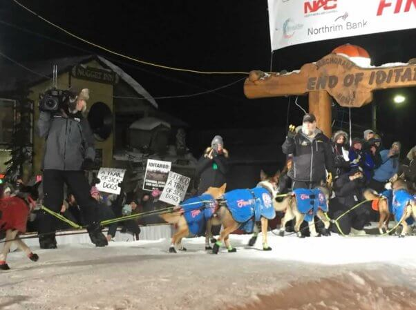 PETA protesters hold signs at finish line of Iditarod as a team of dogs arrives