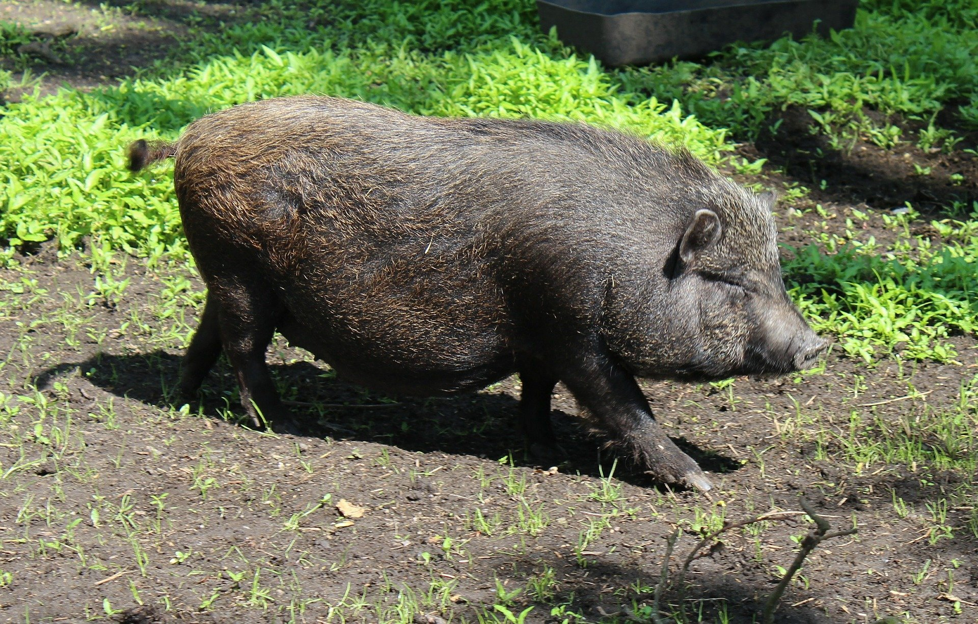 People Who Ignore Local Regulations May Find It Difficult To Seek Medical Care For Their Pig Friends Some Veterinarians Refuse Treat Them Because Theyre