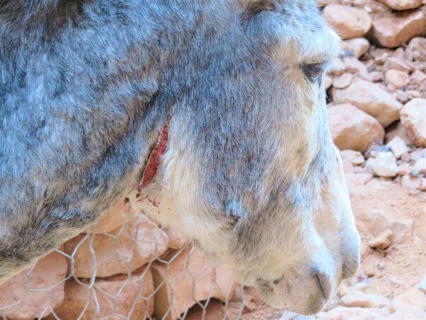 gash on animal in Petra