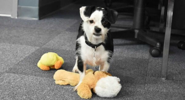 Small black-and-white dog with toys