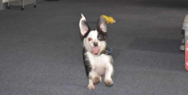 Happy black-and-white dog running