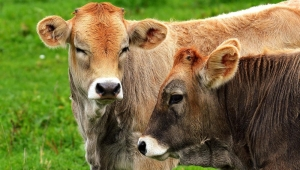 Cows Used for Food