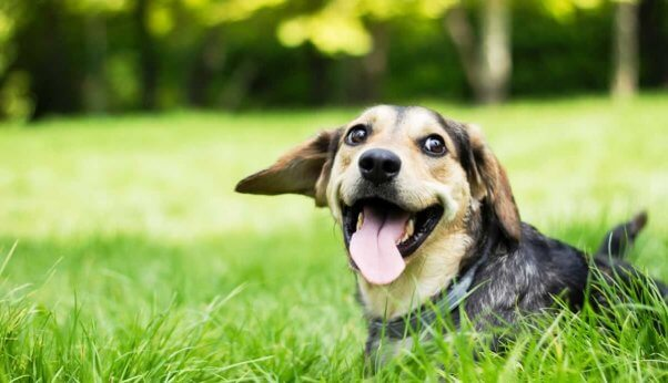Happy beagle with mouth open
