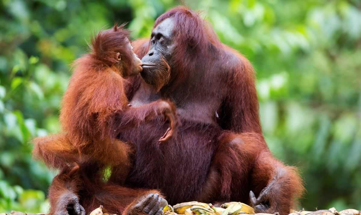 Baby orangutan 'kissing' mother