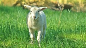 Cute lamb standing in grass