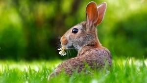 Rabbits in Laboratories
