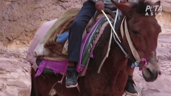 animal beaten in Petra