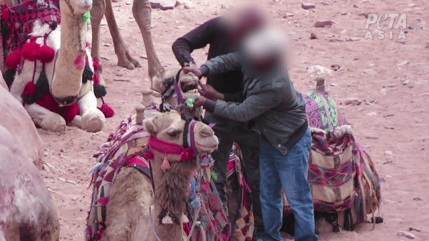 animals beaten by handlers in Petra