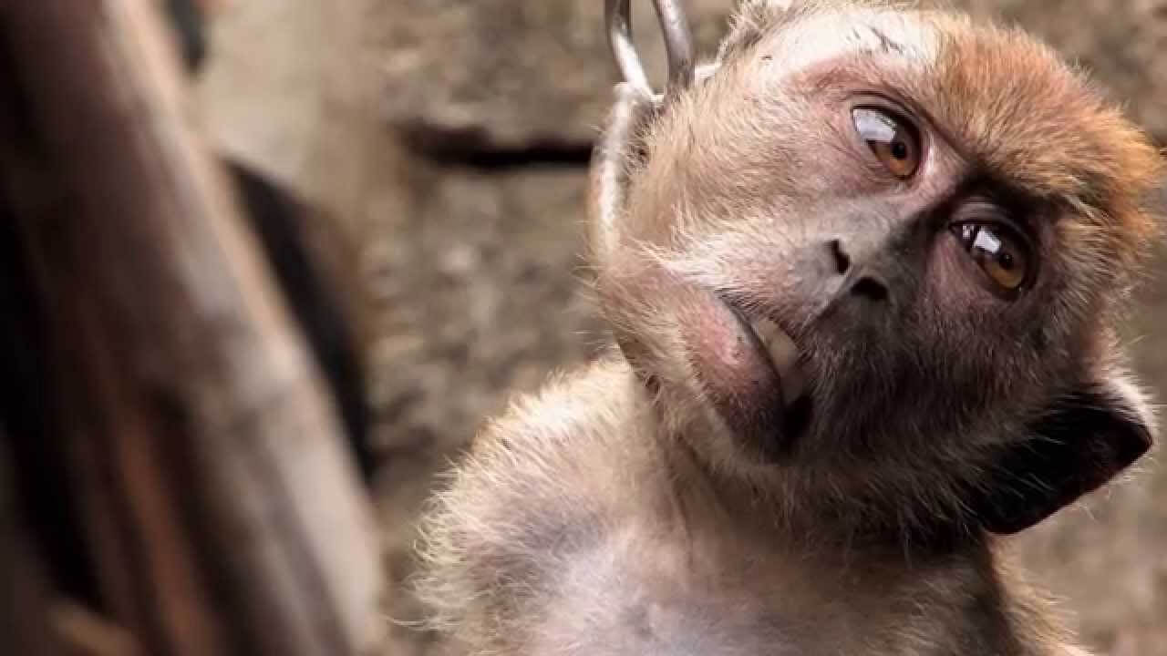 Outraged Internet Agrees With PETA: Chaining Monkey Is Disturbing and Cruel