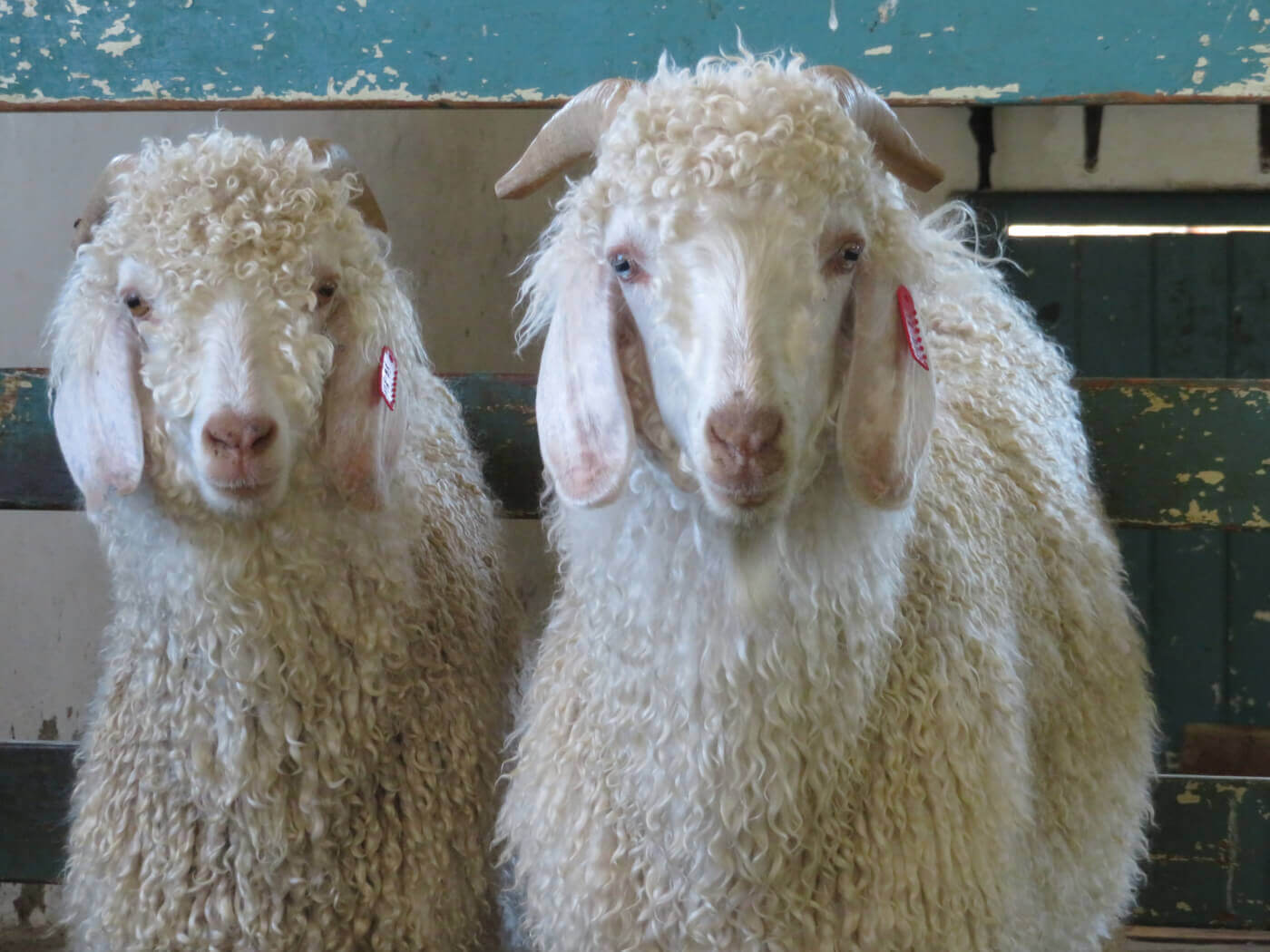 The Mohair Industry | PETA