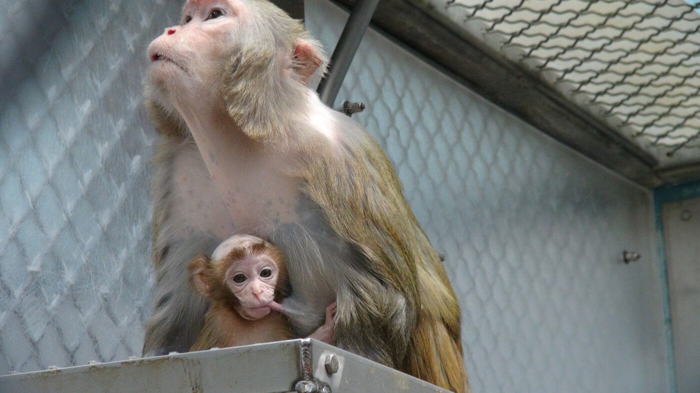 Monkey, Baby, Mother, Vivisection, Experiments, World Week for Animals in Labs