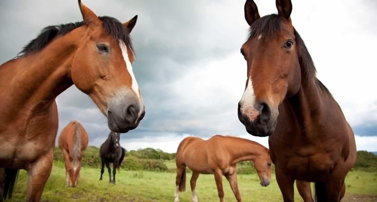 Several Thoroughbred horses looking at camera