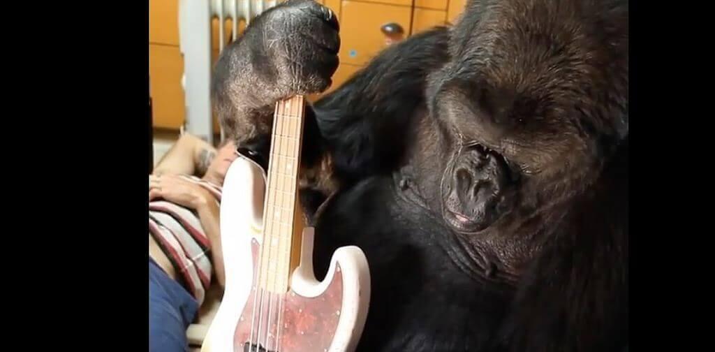 Koko the gorilla holding bass guitar