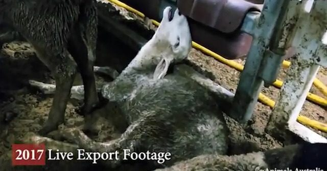 Live Exporter Suspended After Cruelty Exposed