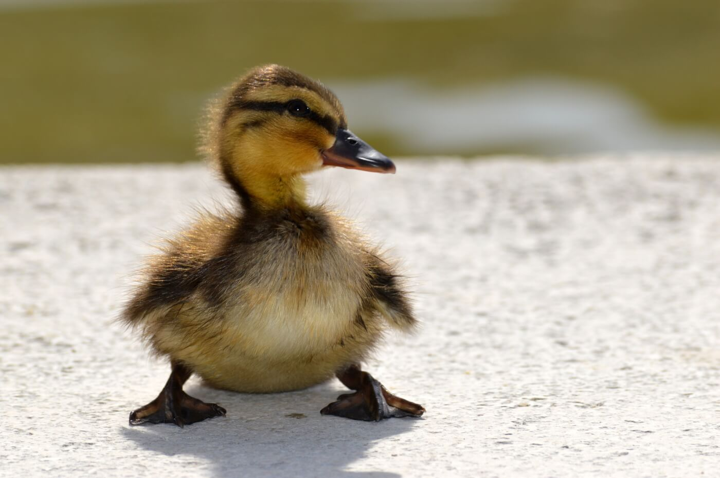 See These High School Students Save Ducklings | PETA