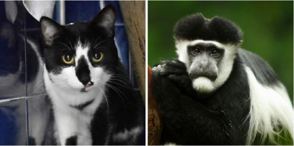 Photos of Tarzan the cat and a colobus monkey side by side