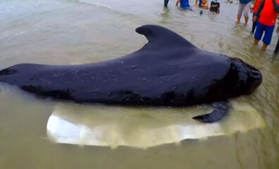 Shocking Video Shows Dead Whale Found With 80 Plastic Bags in His Stomach