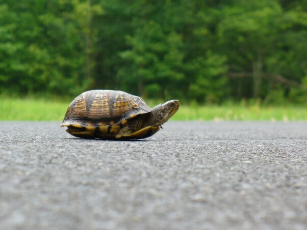 small turtle crossing road near woods