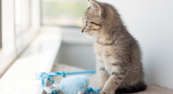 Tabby kitten with blue toy looking out window